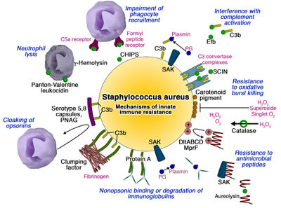 ohapbio12 [licensed for non-commercial use only ... Staphylococcus Bacteria Diagram