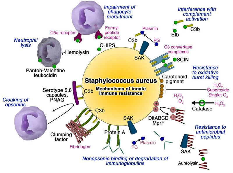 Staph virulence-sm