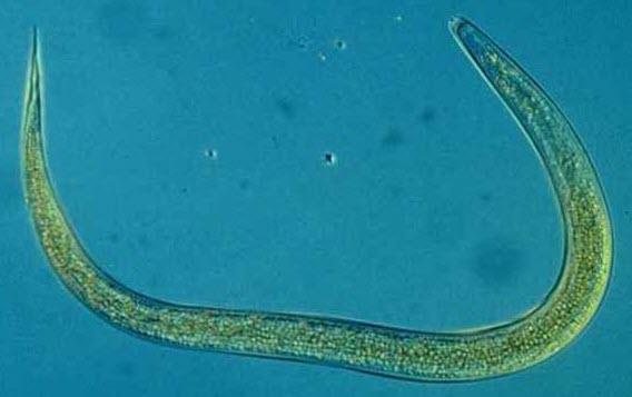 Heterorhabditis_bacteriophora