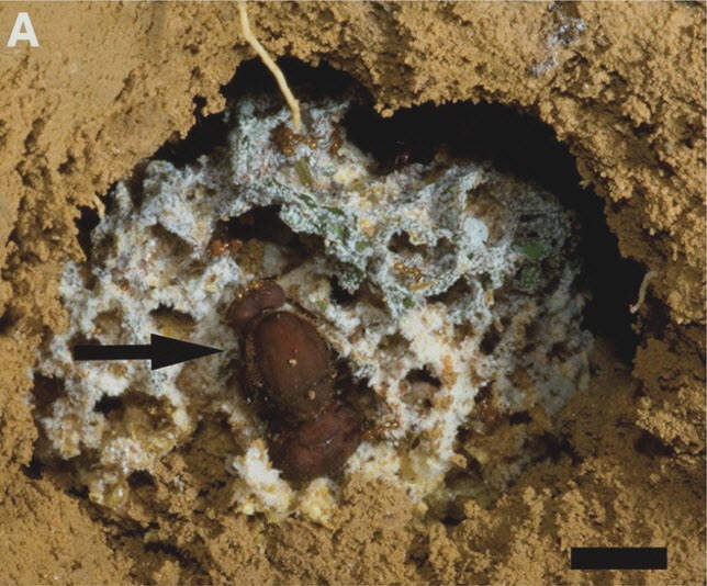 Ant nests_A