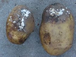 Infected potato