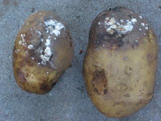 Infected potato