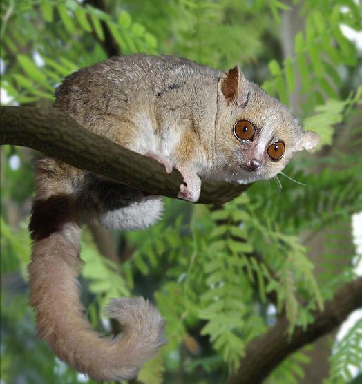 Gray_Mouse_Lemur_1