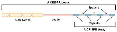 Crispr locus