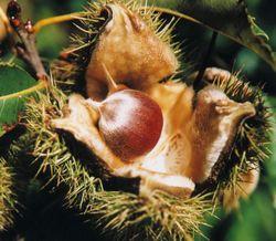 American-Chestnut nut