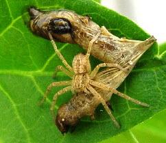 Spider_SeMNPV
