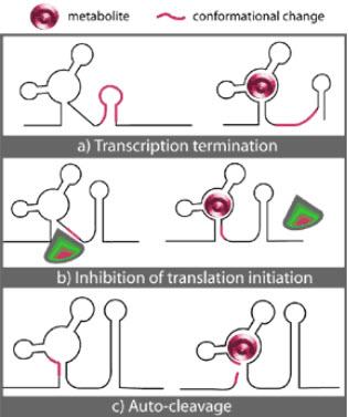 Riboswitch_mechanisms