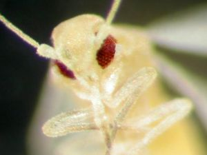 MDN1-WHITEFLY_FACE__942979c