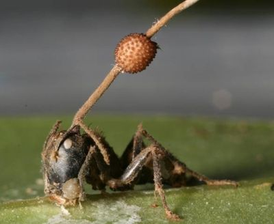 Infected ant with spore stalk