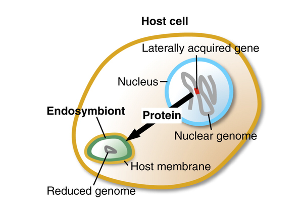 small things considered watching an endosymbiont becoming an organelle