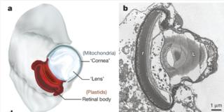 Warnowiid dinoflagellate