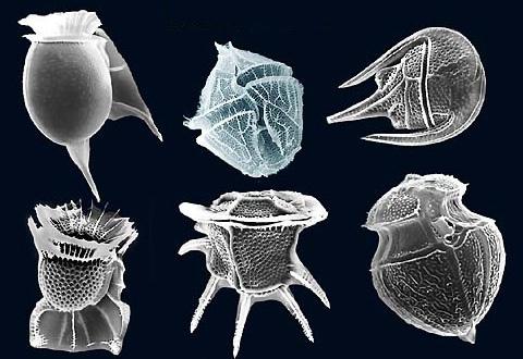 Fig2_dinoflagellates_SEM