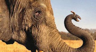 Fig 3 elephant