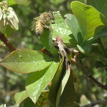 Fig 3. blueberry leaf
