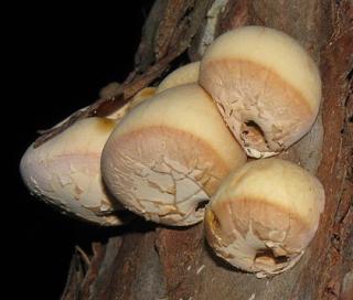 Fig 1. Cryptoporus_volvatus_41860