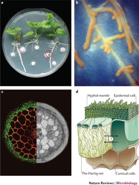 Fig 2 aspen and fungi