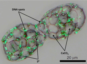 Dividing cell of A. oxaliferum