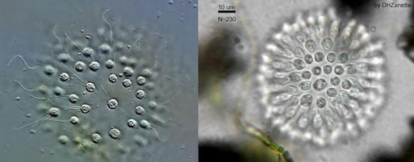 Fig2 choanoflagellates