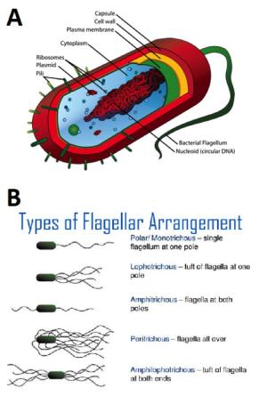 Fig2-bacterium