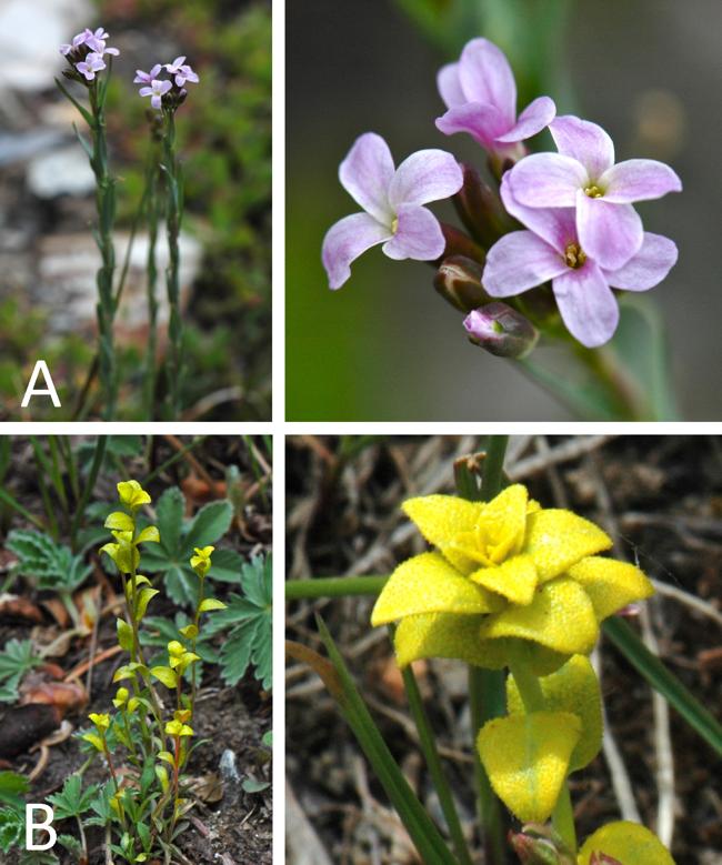 Fig 2. pseudoflowers