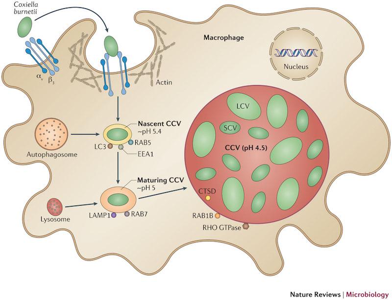 Fig. 2 coxiella pathogenesis