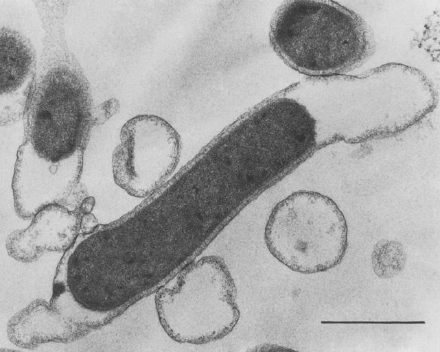 Fig. 1 T. maritina