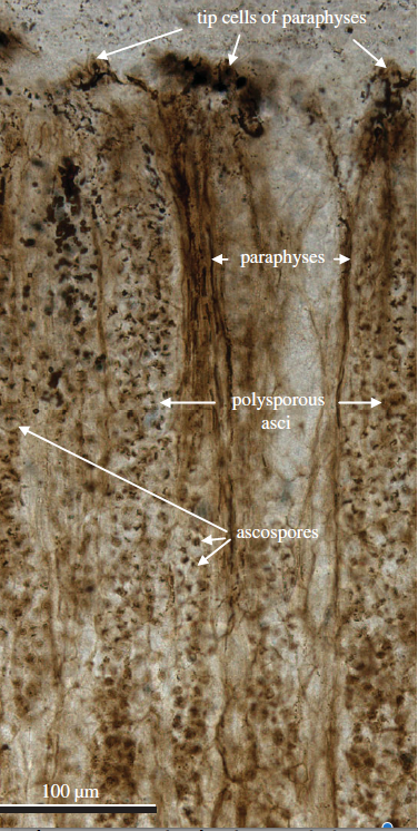 Fig.3 Prototaxites