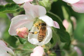 Bee fig.1