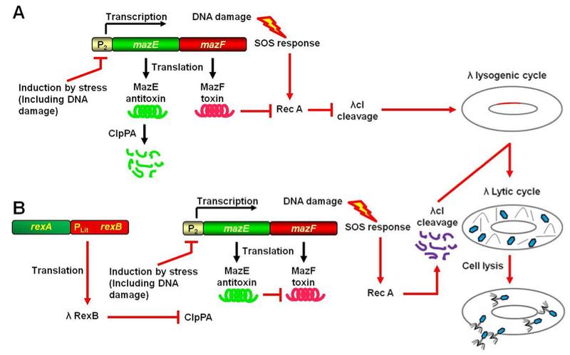 RexB gene