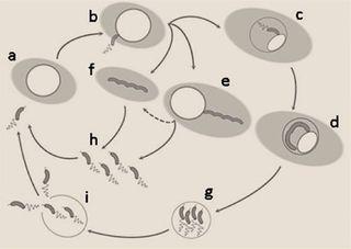 B_bacteriovorus