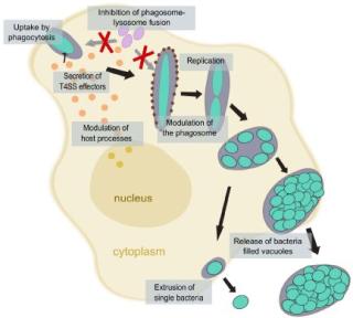 Symb 3-ricketttsia life cycle