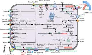 Symb-5 mycopl