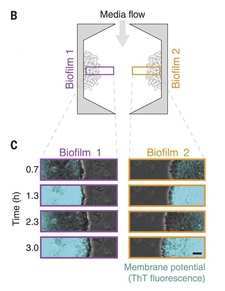 Fig.2.Oscillations