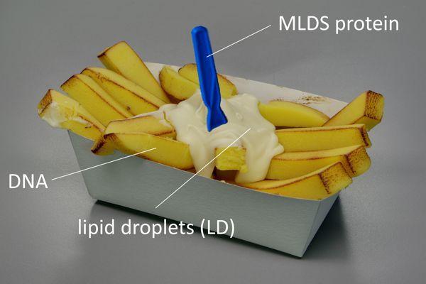 Fig.2.LipidDroplets