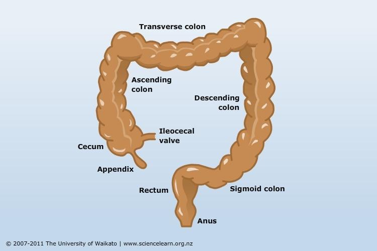 The-large-intestine20161028-31233-ta0k1b