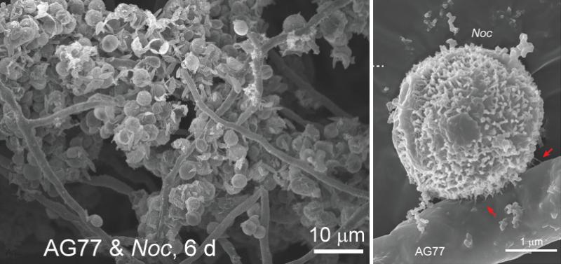 Fig.1.Fungus-Alga