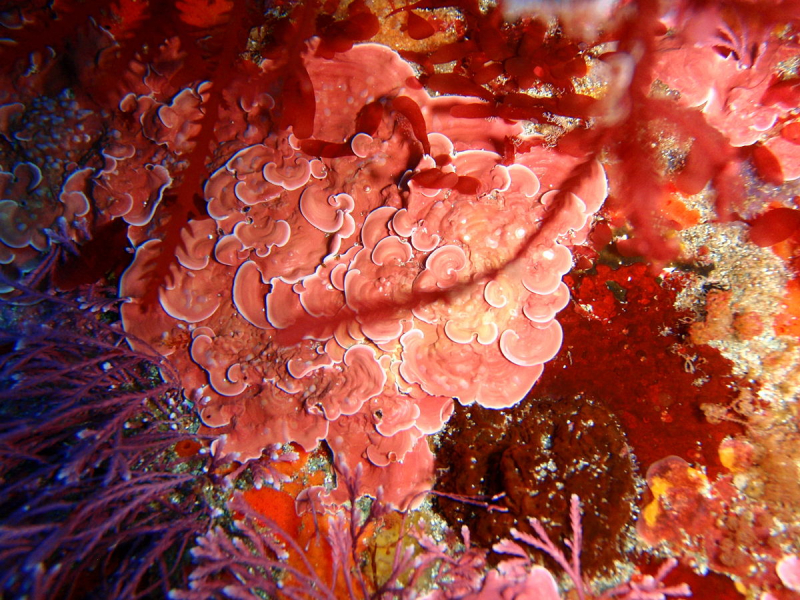 Fig_3_1200px-crustose_coralline_algae_south_east_bay_three_kings_islands_pa121443