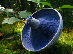 A blue mushroom with a brilliantly purple underside.