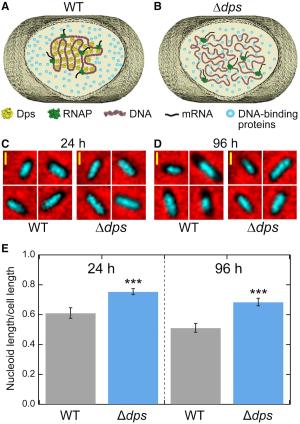 Fig.3.Dps-DNA2