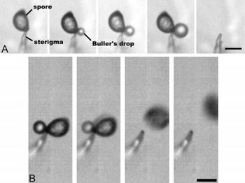 basidiospore discharge